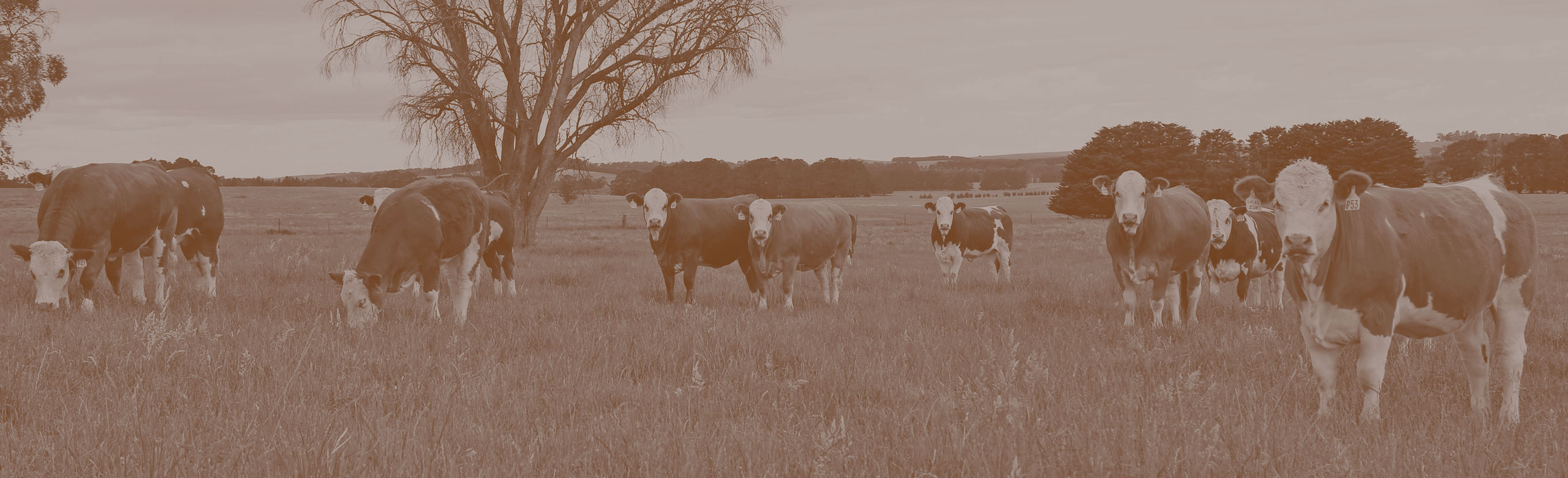 A group of 10 cows grazing in our paddocks